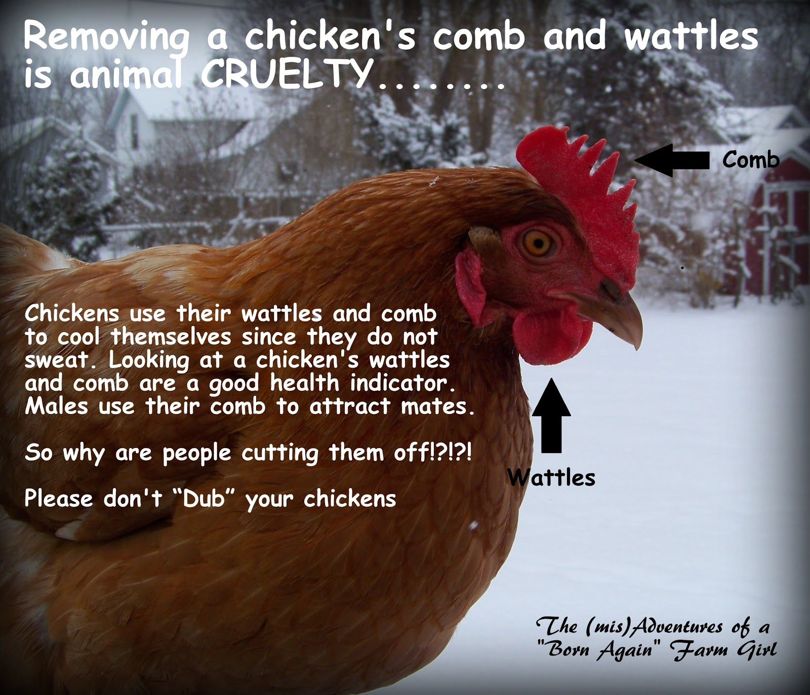 """Don't """"Dub"""" your chickens"""