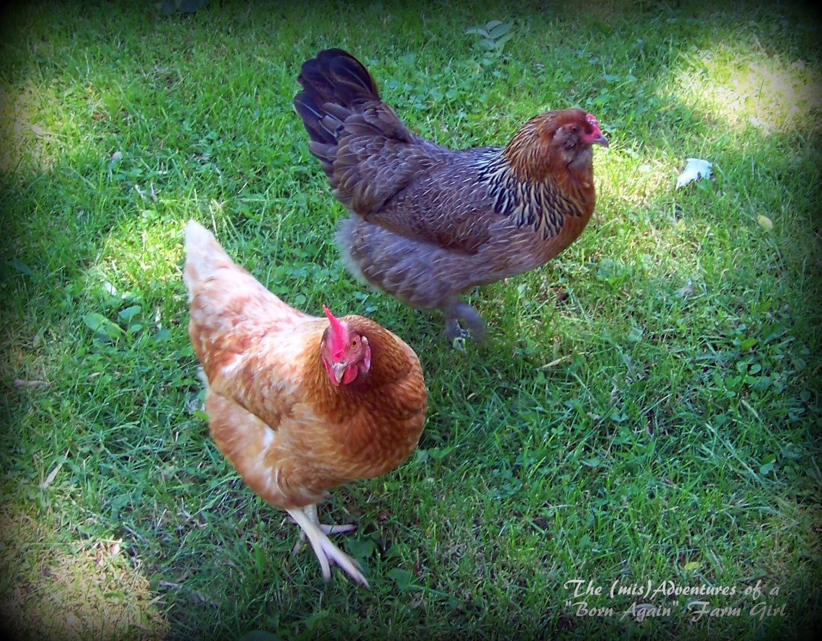 Backyard Chickens, do it legally and responsibly