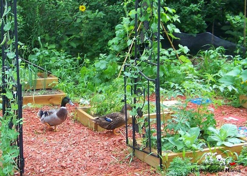 ducks in garden
