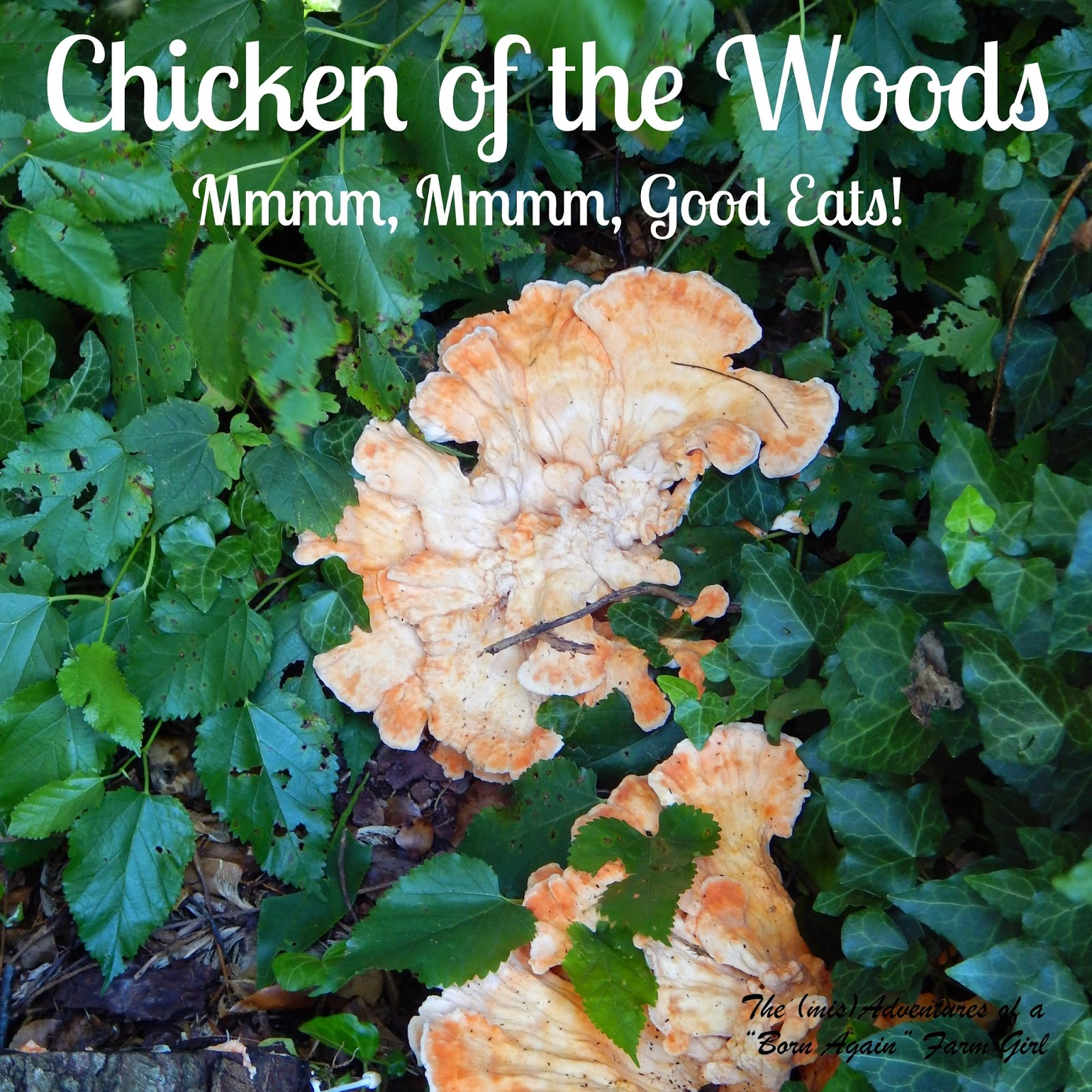 Foraging for Chicken of the Woods
