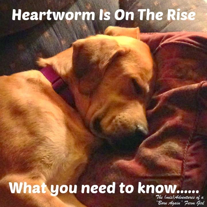 Heartworm Is On The Rise. What you need to know…