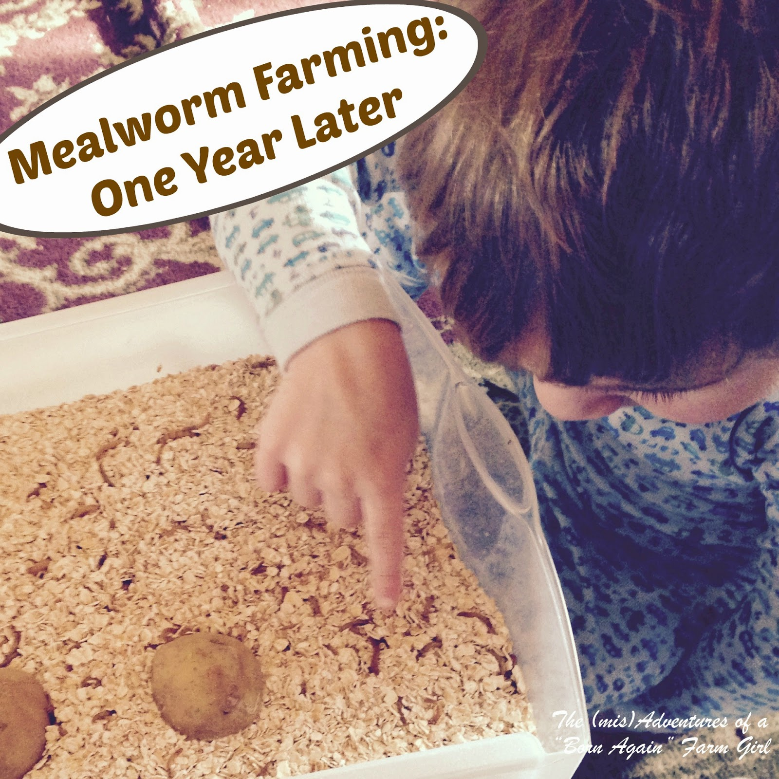 Mealworm Farming: One Year Later
