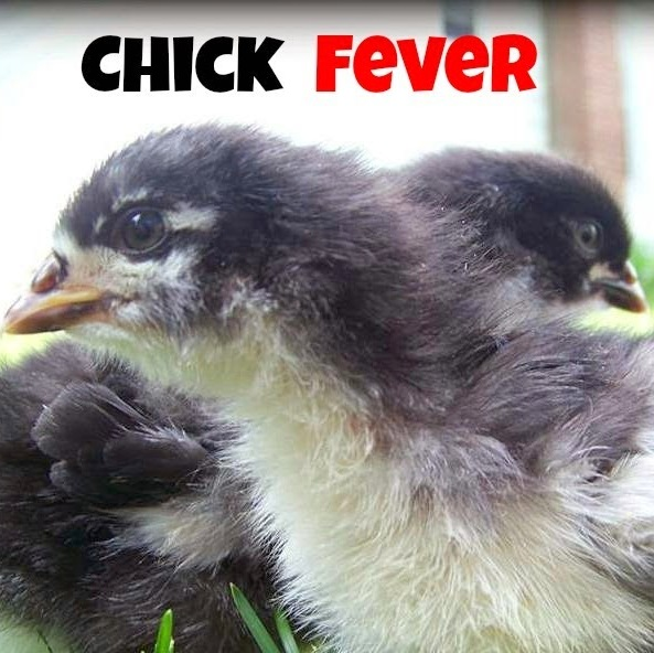 chick fever
