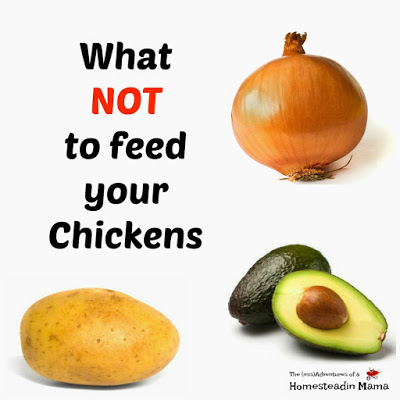 What NOT To Feed Your Chickens