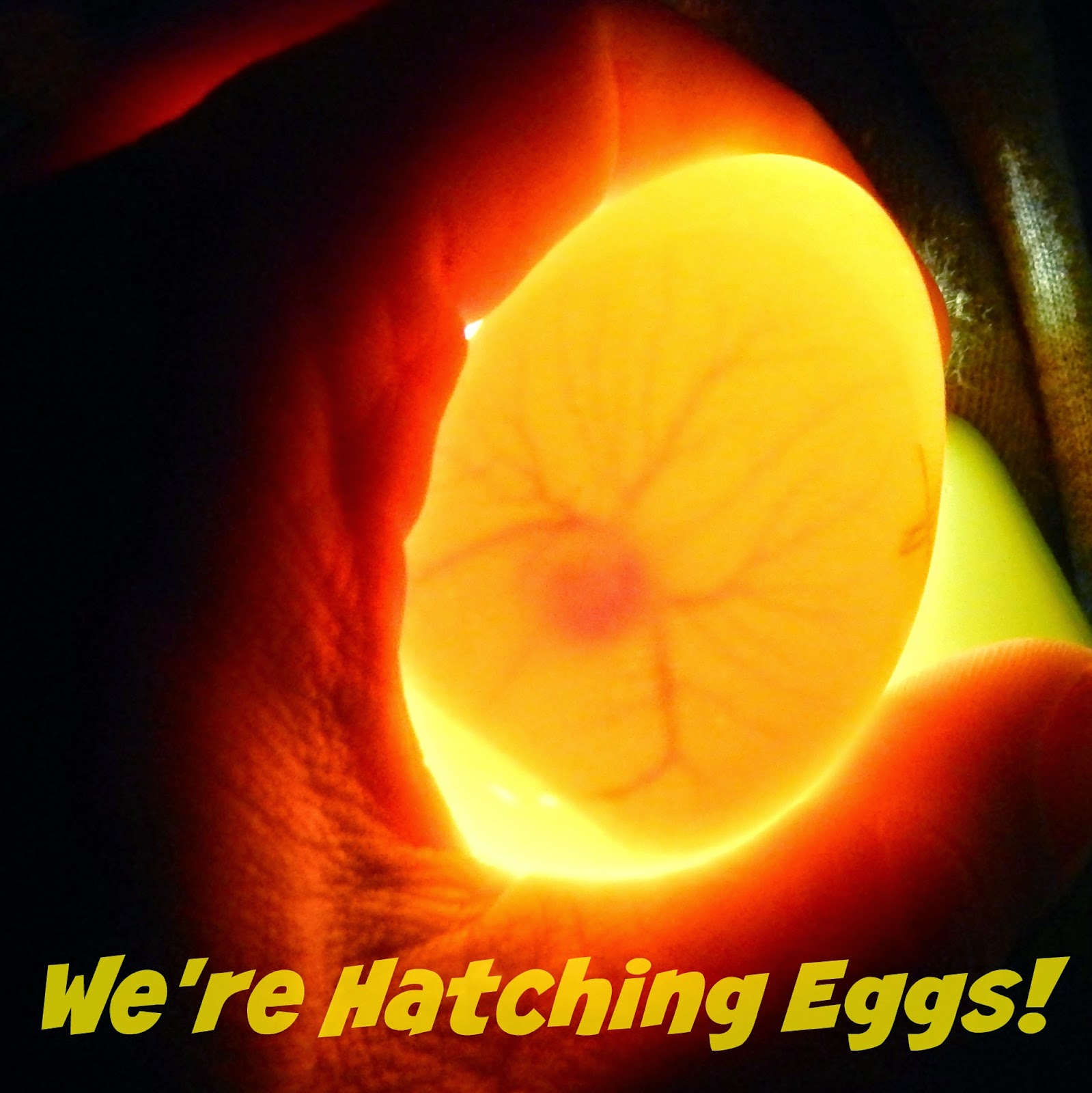 We're Hatching Eggs!