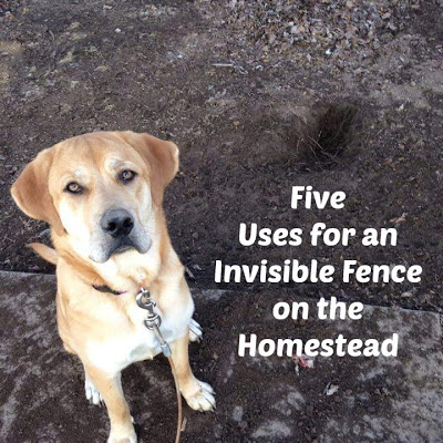 Five Uses for an Invisible Fence on the Homestead