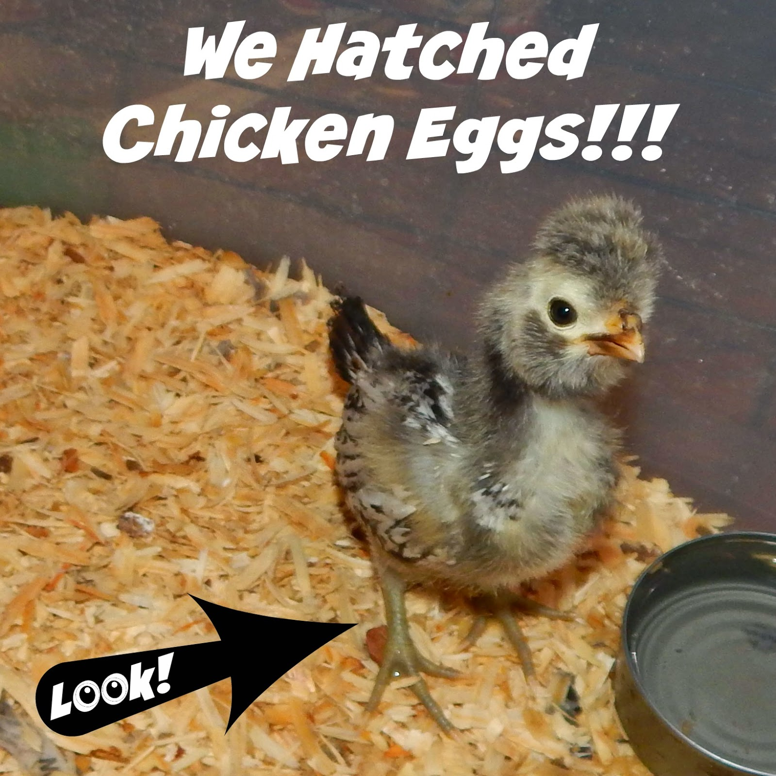 We Hatched Chicken Eggs!!!