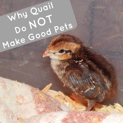 Why Quail Do NOT Make Good Pets