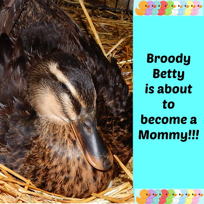 Broody Betty is about to become a Mommy!!!