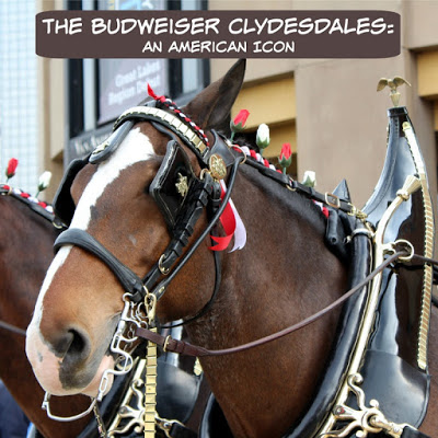 The Budweiser Clydesdales: An American Icon