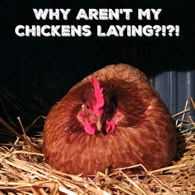 Why Aren't My Chickens Laying?!?!
