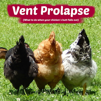Vent Prolapse (What to do when your chicken's butt falls out)