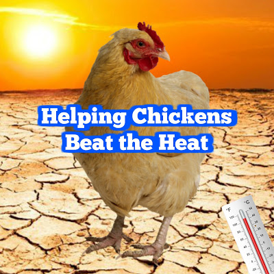 Helping Chickens Beat the Heat