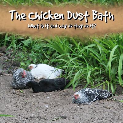 The Chicken Dust Bath