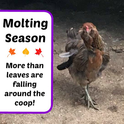Molting Season – More than leaves are falling around the coop!