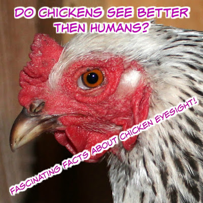Do Chickens See Better Then Humans? – Fascinating Facts About Chicken Eyesight!