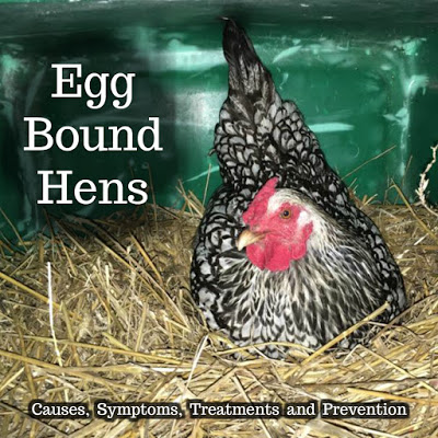 Egg Bound Hens – Causes, Symptoms, Treatments and Prevention