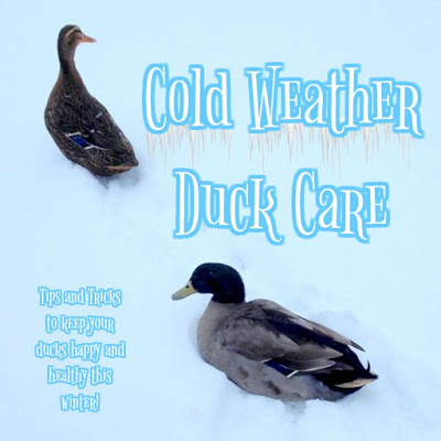 Cold Weather Duck Care