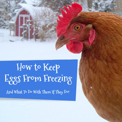 Keep Eggs From Freezing (And what to do with them if they do!)