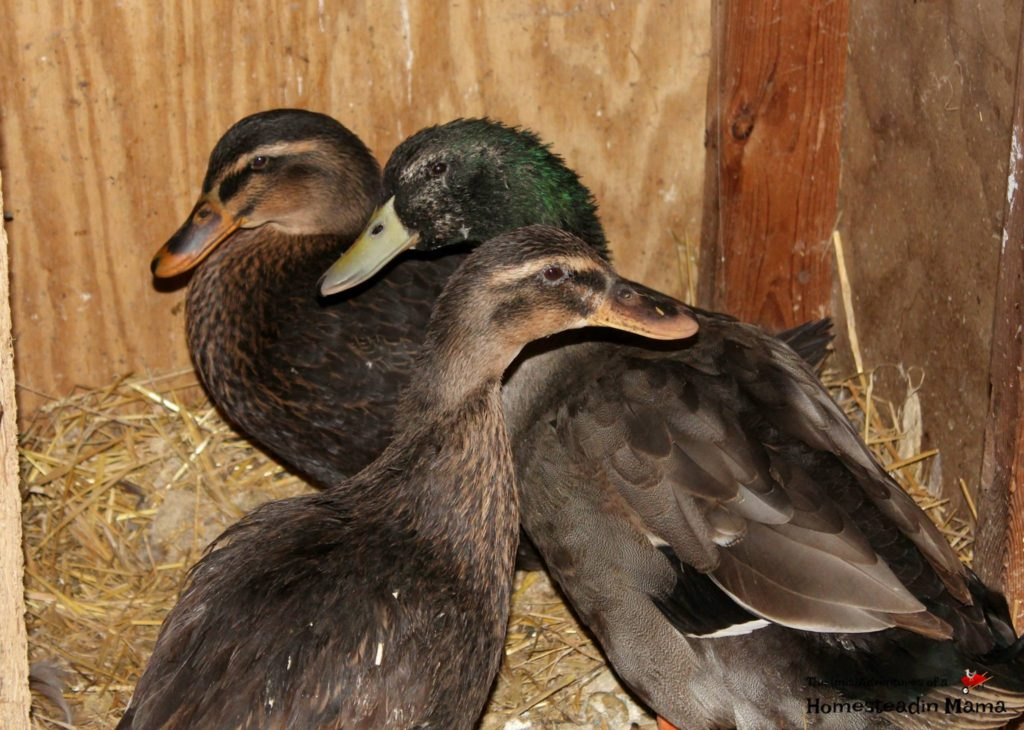 dirty ducks