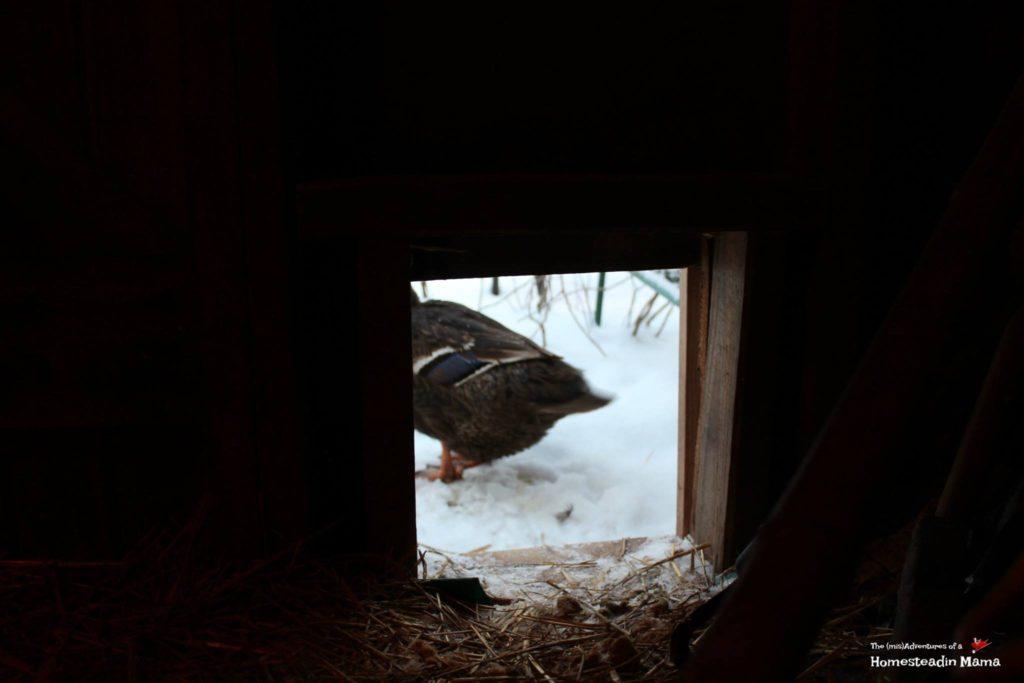 duck through pop door
