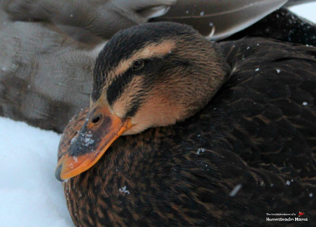 Rouen duck Betty