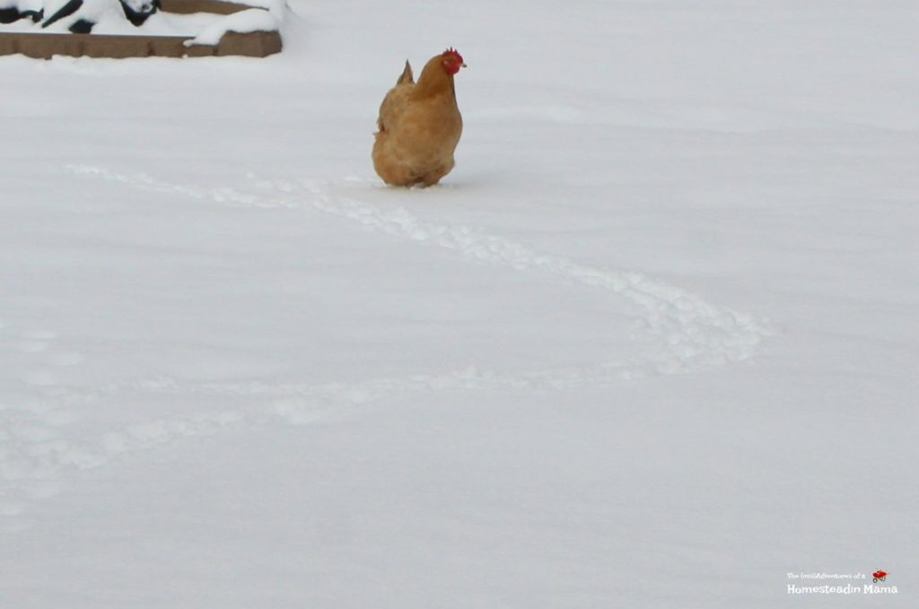 chicken in the snow