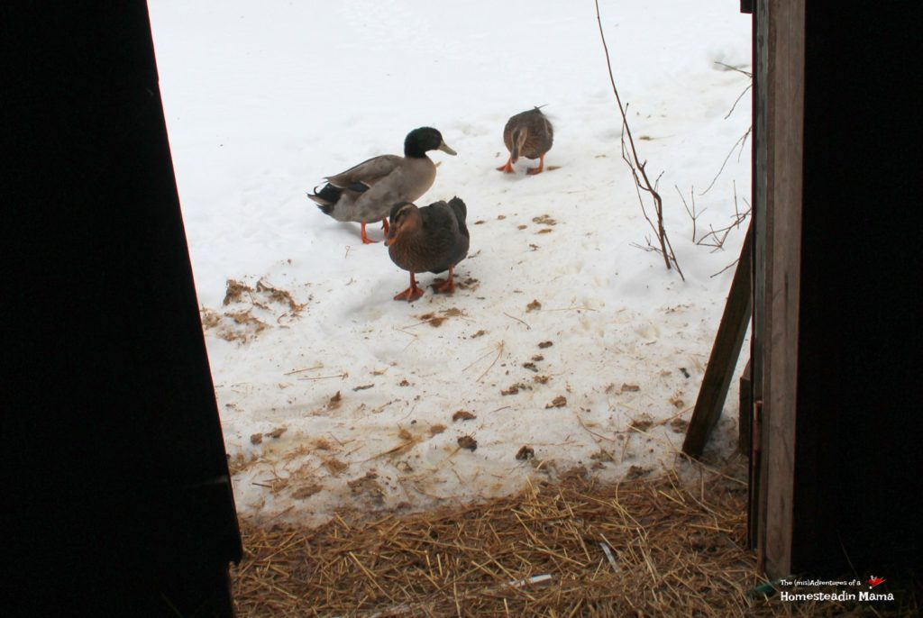 poopy ducks
