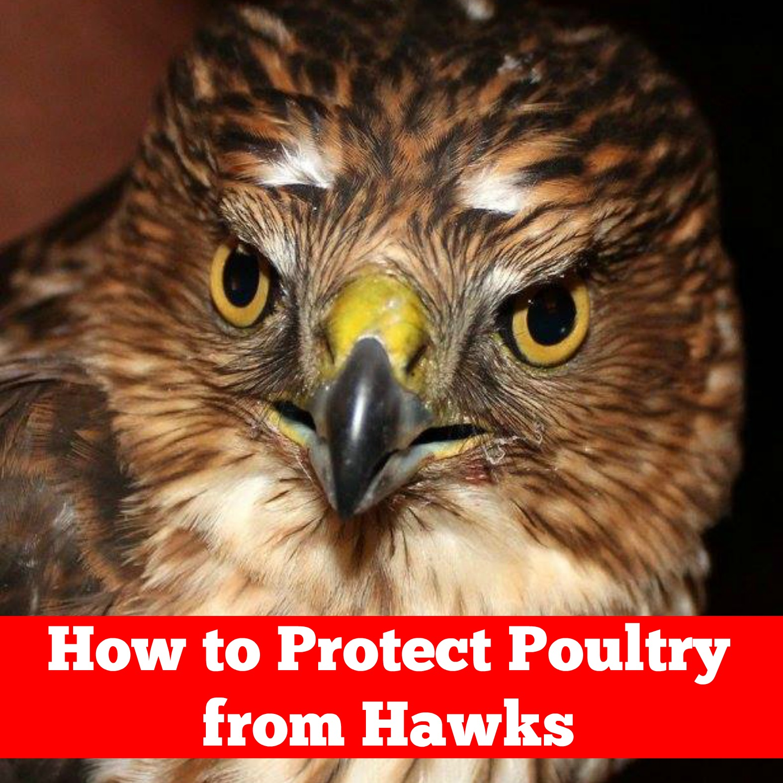 How to Protect Poultry from Hawks